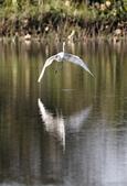 復旦大埤塘的鳥兒:074A7278黃頭鷺.jpg