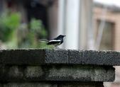 新天母公園的鵲鴝雄鳥:074A5776a.jpg