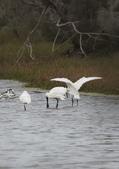 鰲鼓的候鳥與水鳥:074A7950黑琵.jpg