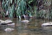 雙溪秋天的鳥類:074A5630.JPG
