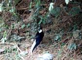 大雪山賞鳥和松鼠及猴王:074A7348.JPG