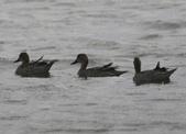 鰲鼓的候鳥與水鳥:N74A3127.JPG