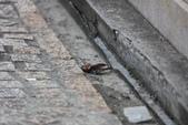 台南關子嶺的山麻雀親鳥育雛:074A3488洗砂浴.JPG