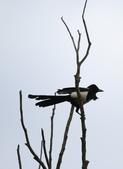 復旦大埤塘周遭的鳥兒:N74A2998.JPG