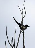 復旦大埤塘周遭的鳥兒:N74A2999.JPG