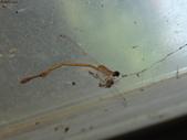 老友湖口別墅的生物:DSC07293紅腹細蟌雌蟲往生.JPG