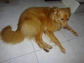 愛犬 Yuni 生活百態 (2015年10月) :DSC01521.JPG