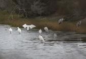 鰲鼓的候鳥與水鳥:074A7940a.jpg