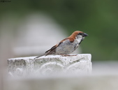 台南關子嶺的山麻雀親鳥育雛:074A3669.JPG