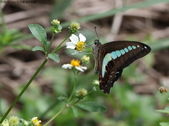 秋天雙溪的昆蟲:074A4762青帶鳳蝶.jpg