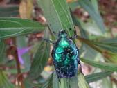 藍艷白點花金龜:DSC08647.JPG