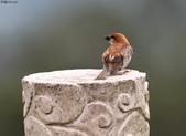 台南關子嶺的山麻雀親鳥育雛:074A3675.JPG