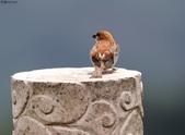 台南關子嶺的山麻雀親鳥育雛:074A3680.JPG