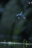 水鳥捕魚千裡挑一精彩鏡頭:N74A6263.JPG