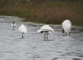 鰲鼓的候鳥與水鳥:074A7942黑面琵鷺.jpg