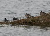 鰲鼓的候鳥與水鳥:074A7903.JPG