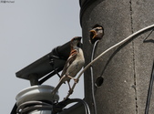 台南關子嶺的山麻雀親鳥育雛:074A3432幼鳥再探出頭.jpg