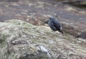 雙溪秋天的鳥類:074A5463鉛色水鶇(鉛色水鴝)母鳥.jpg