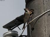 台南關子嶺的山麻雀親鳥育雛:074A3441.JPG