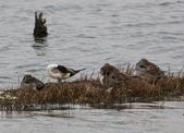 鰲鼓的候鳥與水鳥:074A7910.JPG