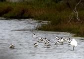 鰲鼓的候鳥與水鳥:074A7947a.jpg