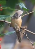 南港鳥兒:074A2382灰頭紅尾伯勞(雄).jpg