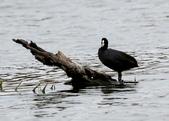 鰲鼓的候鳥與水鳥:074A7870白冠水雞.JPG