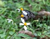 秋天雙溪的昆蟲:074A4783姬小紋青斑蝶.jpg