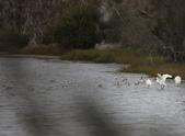 鰲鼓的候鳥與水鳥:074A7949反嘴鴴+黑琵.JPG
