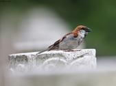 台南關子嶺的山麻雀親鳥育雛:074A3665呼叫母鳥.JPG