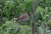復旦-新天母公園的鳥兒:N74A3717.JPG