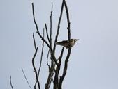 復旦大埤塘周遭的鳥兒:N74A2950.jpg