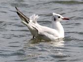 鰲鼓的侯鳥與水鳥:N74A3119紅嘴鷗.JPG