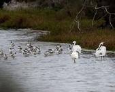 鰲鼓的候鳥與水鳥:074A7975.JPG