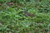 復旦-新天母公園的鳥兒:N74A3503.JPG