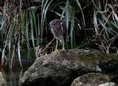 雙溪秋天的鳥類:074A5614夜鷺幼鳥.jpg