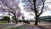 2017雪梨的藍花楹:10519.jpg