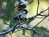 冬至大雪山活潑的鳥兒與松鼠:074A6902青背山雀.JPG