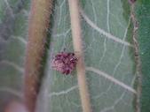 艾瑟毛圓蛛(雄與雌)-構樹:DSC08346.JPG