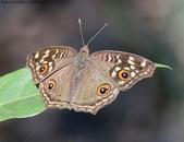 屏東士文昆蟲與動物:IMG_0227眼紋擬蛺蝶.jpg