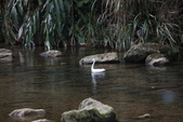 雙溪秋天的鳥類:074A5615.JPG
