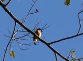 冬至大雪山活潑的鳥兒與松鼠:074A6928a.JPG