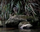 雙溪秋天的鳥類:074A5615夜鷺幼鳥.jpg