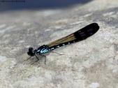 秋天雙溪的昆蟲:074A4799棋紋鼓蟌(雄).jpg