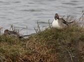 鰲鼓的候鳥與水鳥:074A7914尖尾鴨雄.jpg