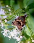 屏東士文昆蟲與動物:IMG_0235蟋蟀若蟲和駝蛾