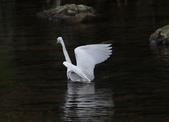 雙溪秋天的鳥類:074A5617小白鷺展翅.jpg
