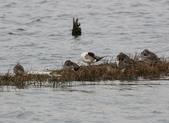鰲鼓的候鳥與水鳥:074A7909.JPG