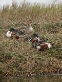 鰲鼓的候鳥與水鳥:074A7934賊眼盯人.jpg