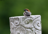 台南關子嶺的山麻雀親鳥育雛:074A3513.JPG
